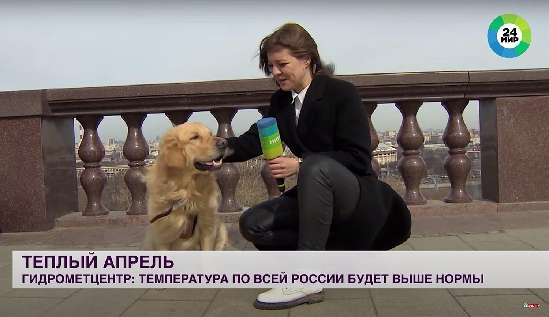 Золотистый ретривер прерывает прямой эфир российского новостного ролика, чтобы украсть и включить микрофон репортера